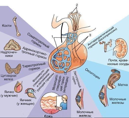 анализы на гормоны гипофиза