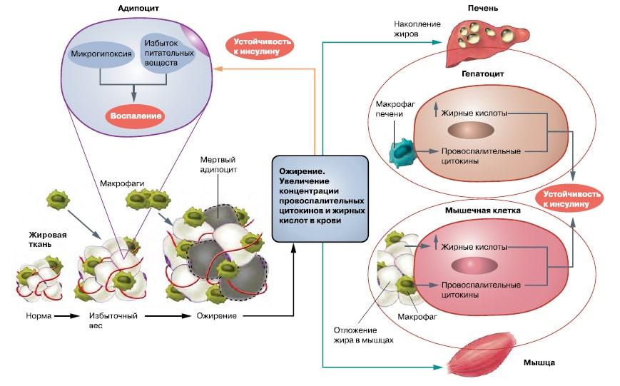 выработка инсулина в организме