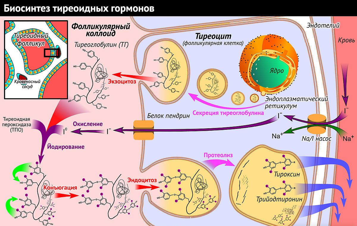 влияние щитовидной железы на сердце