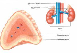 гормоны коры надпочечников