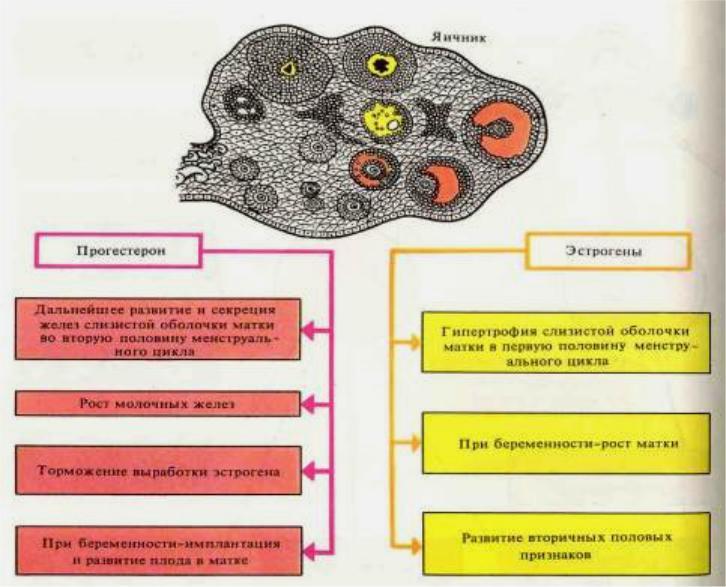 гормоны яичников
