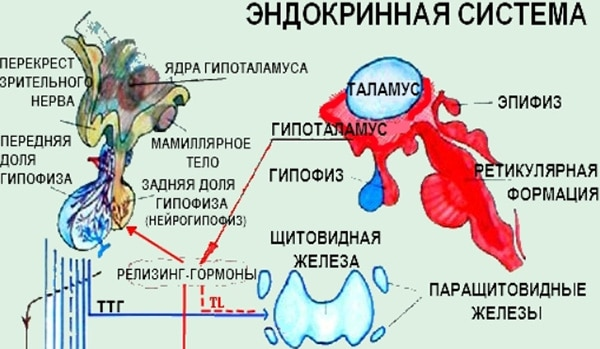 действие тиреотропного гормона