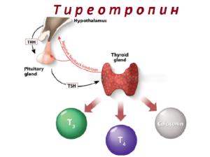 ТТГ и антитела