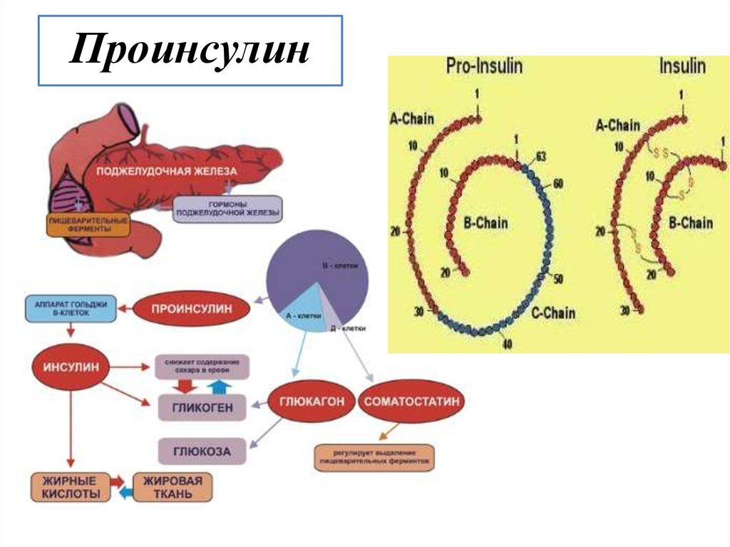 проинсулин как гормон