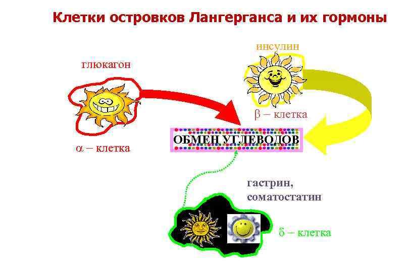 соматостатин и его функции