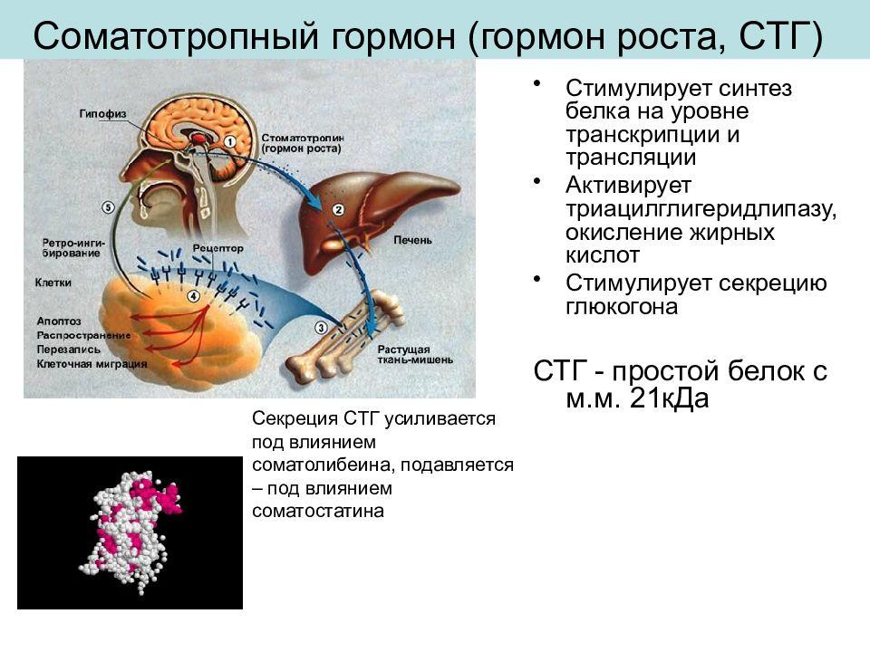 соматотропный гормон выработка