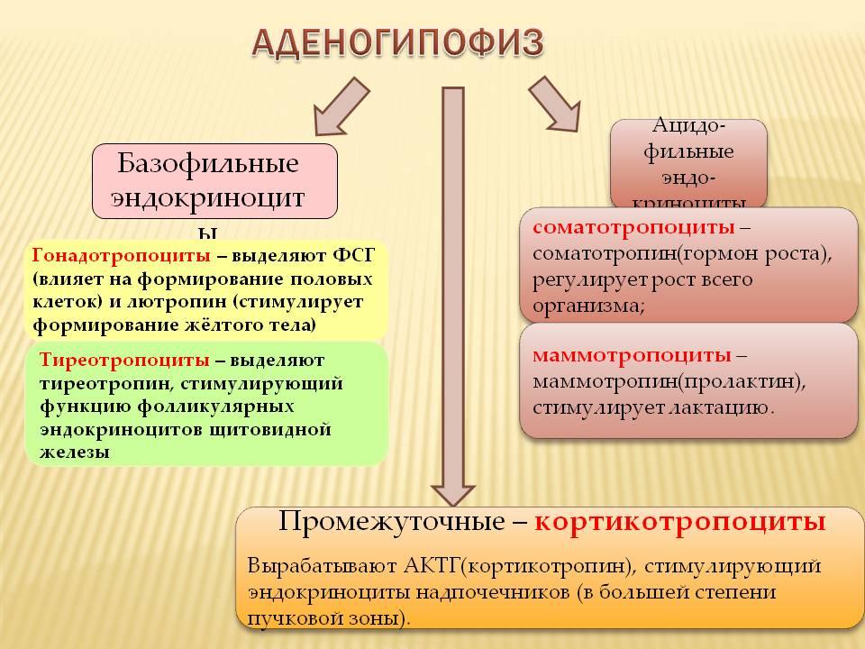 аденогипофиз и его гормоны