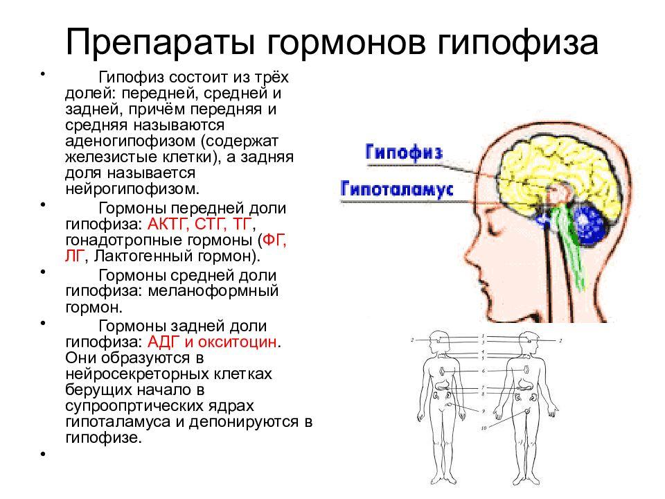 гипофиз и препараты-аналоги