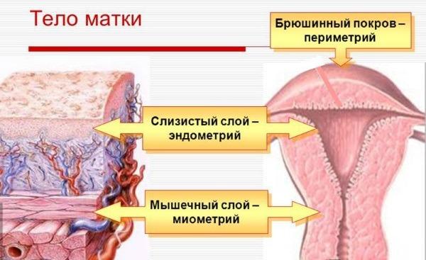 строение тела матки
